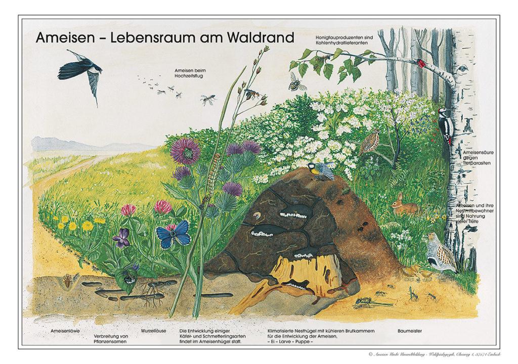 Ameisen - Lebensraum am Waldrand